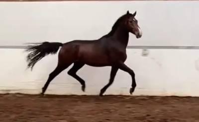 KWPN Nederlands sportpaard Te koop 2018 Donker bruin / bai