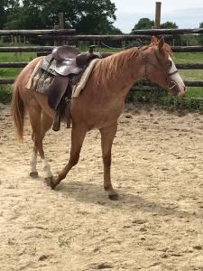 Stetson du tr - paint horse 2019 (hongre)