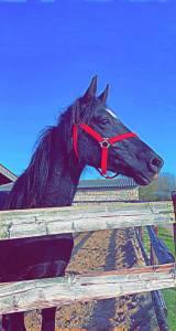Jeune petit cheval noir