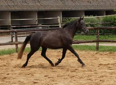 Iode - jolie petite jument crosiement poney / cheval