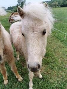 Mini horse américain