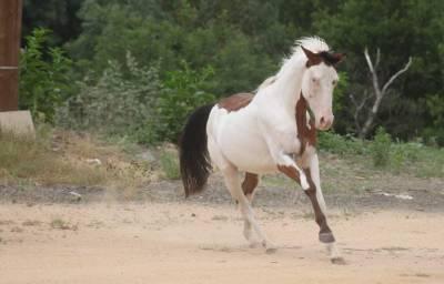 Paint horse pie 2 ans