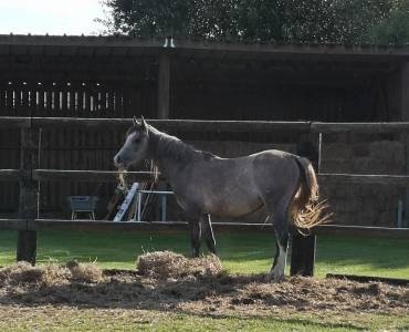 Joli poulain poney oc 2 ans pfs/ar