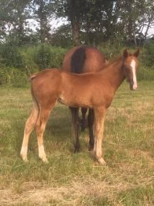 Foal mâle tf par uaukir