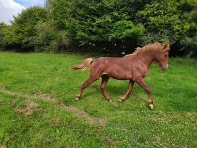 Poney new-forest