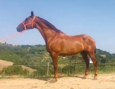 Cavallo PRE