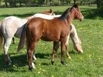 Chuck du tr - quarter horse 2020 (entier)