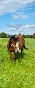 Hongre paint horse baie