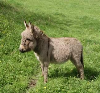 Filou : magnifique étalon âne extra miniature