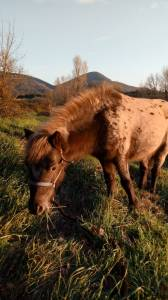 cheval miniature appaloosa entier