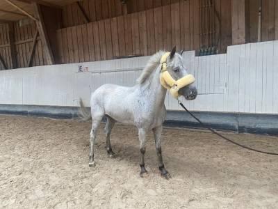 Top Poney idéal pour l'école / Ideal ponytop fur die sc