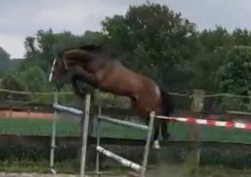 Springpaard hengst vigo x voltaire 2018 ( gekeurd)
