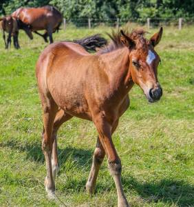 Vends foals new forest, pures origines anglaises.