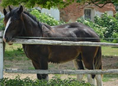 Shire horse - yearling colt