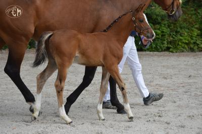 Foal mâle futur grand d par very star kerveyer