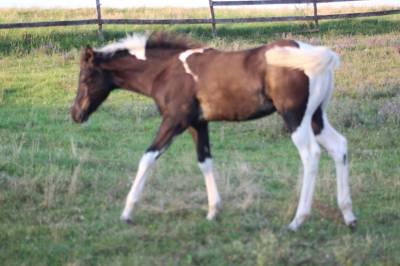 Poulain paint horse pp usa et sire
