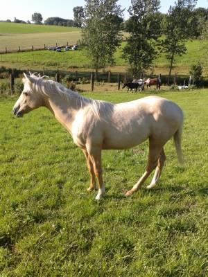 Jument american paint horse