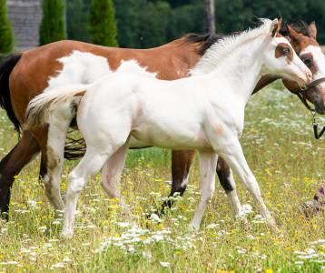 Pouliche paint horse 2021