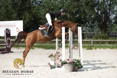Jument   4 ans   coupe gold x corlander