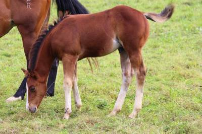 Poulain quarter horse reinning
