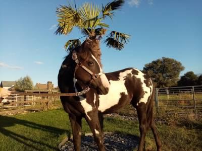 Paint horse black overo