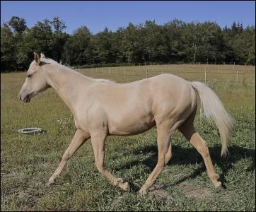 MAGNIFIQUE Poulain Quarter Horse Mars 2020