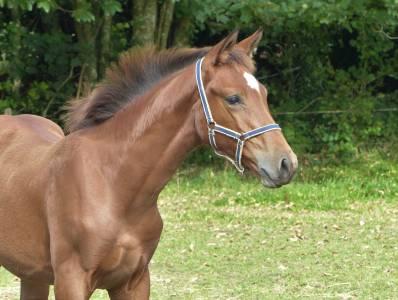 Last one de lojou foal femelle sfo excellentes origines