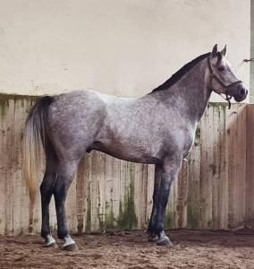 Grand poney ( welsh/pur sang arabe)