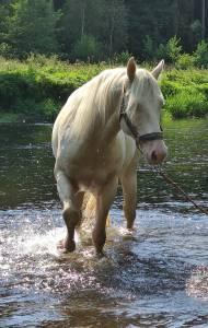 Hitch little ndae  : etalon quarter horse fondation cremello