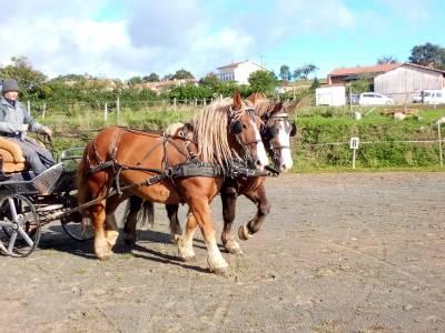 Paire de trait breton, volcan et douchka