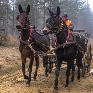 Mules Andalouses attelées en paire