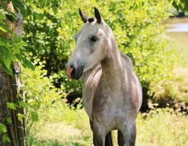 A vendre poney de compagnie