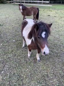 5 minis chevaux