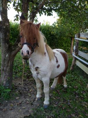 Vends un mini poney onc pie alezan, yeux bleu, hongre