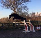 Golly Gosh Beautiful Black Gelding (SJ/DR/Eventing)