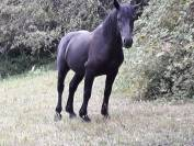 Vends cheval 3 ans